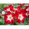 Сеянцы Адениум (Adenium) Obesum FLAME OF LOVE