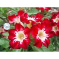 Сіянці Аденіум (Adenium) Obesum FLAME OF LOVE