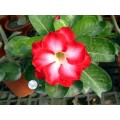 Семена Адениум (Adenium) Obesum FRAGRANT CLOUD