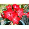 Рослина Adenium Obesum Desert rose HAVE A DREAM IS THE MOST BEAUTIFUL