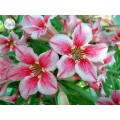 Семена Adenium Obesum Desert rose LOVE AFFAIRS OF STAR