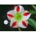 Семена Adenium Obesum Desert rose PHENIX