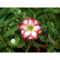 Семена Adenium Obesum Desert rose POLARIS
