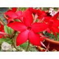 Насіння Adenium Obesum Desert rose PROMINENT