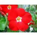 Насіння Аденіум (Adenium) Obesum RED AURORA