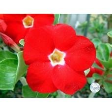 Семена Адениум Тучный RED AURORA