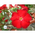 Семена Adenium Obesum Desert rose RED STAR OF TAIWAN