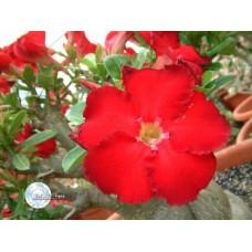Семена Адениум Тучный RED STAR OF TAIWAN