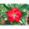 Семена Adenium Obesum Desert rose RED VIGILANT