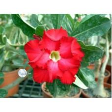 Семена Адениум Тучный RED VIGILANT
