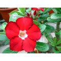 Семена Adenium Obesum Desert rose ROYAL RUBY