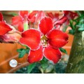 Семена Adenium Obesum Desert rose SMALL RED PLUM