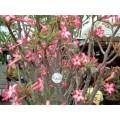 Растение Адениум (Adenium) Obesum SOMALENSE