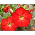 Семена Адениум (Adenium) Obesum STAR OF HEAVEN