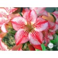 Сеянцы Адениум (Adenium) Obesum STAR OF HOPE