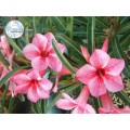 Семена Адениум (Adenium) Obesum STAR OF RED SPARKLES