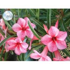 Растение Адениум Тучный STAR OF RED SPARKLES