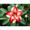 Насіння Аденіум (Adenium) Obesum STAR OF SILVER WINGS