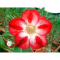 Семена Adenium Obesum Desert rose STAR OF TOMORROW