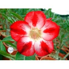 Семена Адениум Тучный STAR OF TOMORROW