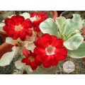 Семена Adenium Obesum Desert rose STAR OF TOP