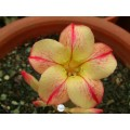 Семена Adenium Obesum Desert rose STAR OF YELLOW DREAM