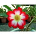 Семена Adenium Obesum Desert rose SUPER MOONLIGHT FAIRY