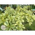 Семена Адениум (Adenium) Obesum SUPER YELLOW LEAF