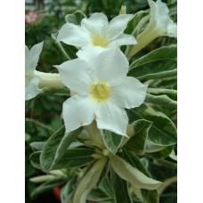 Семена Адениум Тучный VARIEGATED LEAVES WHITE