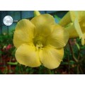 Растение Adenium Obesum Desert rose YELLOW EARTH