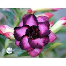Растение Адениум Тучный CODE49