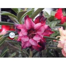 Растение Адениум Тучный CODE54