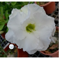 Семена Адениум Тучный CODE111