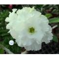 Семена Адениум (Adenium) Obesum CODE88
