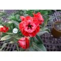 Семена Адениум (Adenium) Obesum CODE92