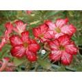 Сіянці Аденіум (Adenium) Obesum FLOWERS FLOWER