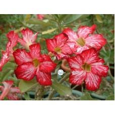 Семена Адениум Тучный FLOWERS FLOWER