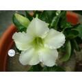 Семена Адениум (Adenium) Obesum MINI SIZE WHITE