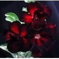 Семена Adenium Obesum Desert rose DOUBLE BLACK EDITION
