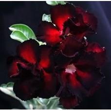 Насіння Аденіум Тучний DOUBLE BLACK EDITION