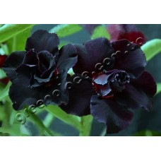 Растение Адениум Тучный DOUBLE BLACK STEEL