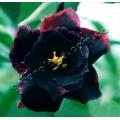 Семена Адениум (Adenium) Obesum DOUBLE BLACK SWAN