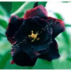 Насіння Аденіум Тучний DOUBLE BLACK SWAN
