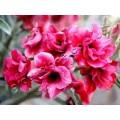 Семена Adenium Obesum Desert rose DOUBLE FROSTIE