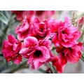 Насіння Adenium Obesum Desert rose DOUBLE FROSTIE