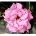 Семена Adenium Obesum Desert rose DOUBLE KING BLOSSOM