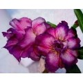 Семена Адениум (Adenium) Obesum DOUBLE KING BLUE VELVET