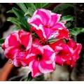 Насіння Adenium Obesum Desert rose DOUBLE LADY SPECTOR