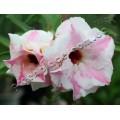 Насіння Adenium Obesum Desert rose DOUBLE MERCEDES