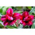 Семена Adenium Obesum Desert rose DOUBLE MISS SHANGHAI